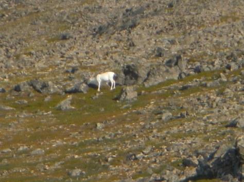 Albino reindeer norway