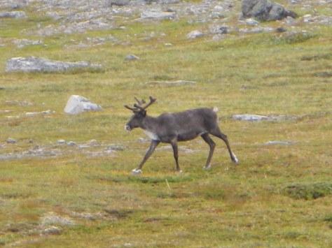 Reindeer in Hammerfest Norway