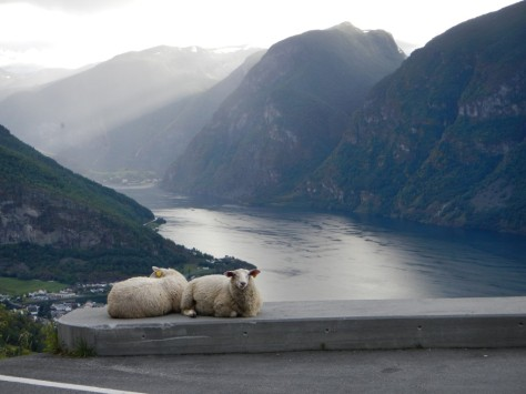 Sheep enjoy a view of Aurlundsfjord